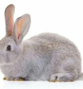 Кролячье мясо