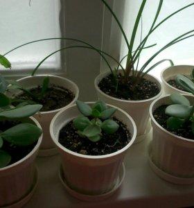 Комнатные растения. Крассула