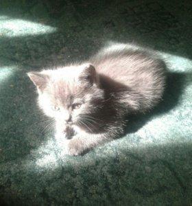 Британские котятки )))