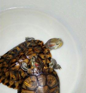 Черепахи краснрухие