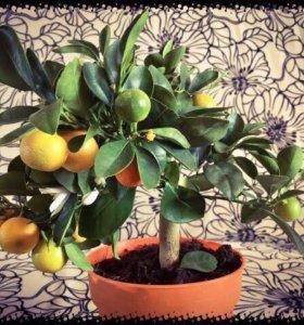 Мандарин, карликовое дерево.