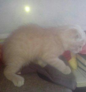 Катёнок Британской вислоухой кошки