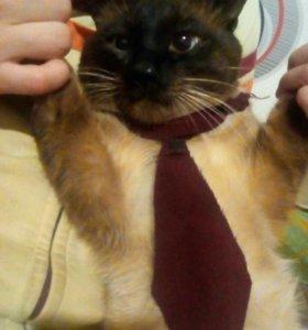 Вязка сиамского кота