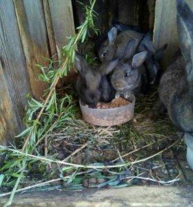 Кролики(Великан)