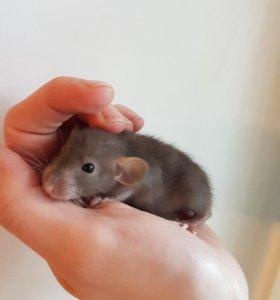 Крысята дамбо шоколадно-голубые ( лилак)