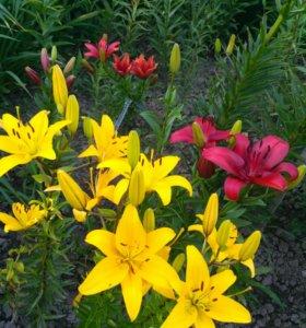 Лилейники, лилии