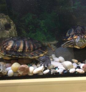 Красноухие черепахи / 2 шт.