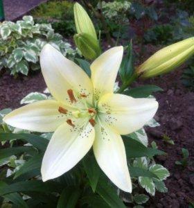 Лилия ( садовое растение )
