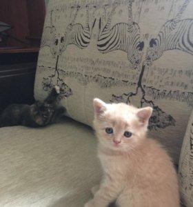 Продаю очаровательных котят Скотишь-Фолд