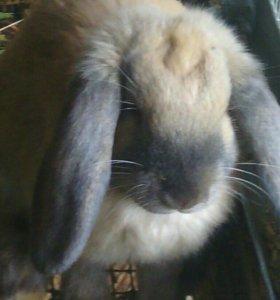 Кролики фр.бараны