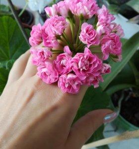 Pink Schwaland