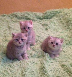 Котики британцы