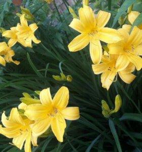 Лилейник желтый N1