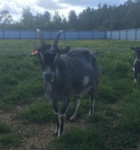 Молочная дойная коза и козлята