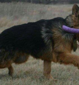 Выращенный 10 месячный щенок с документами
