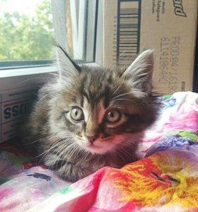 Котенок мальчик 1.5 мес