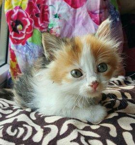 Котенок 1 мес. девочка