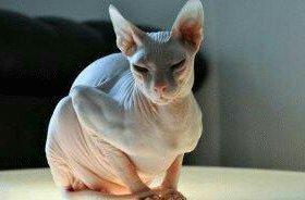 Кошка сфинск