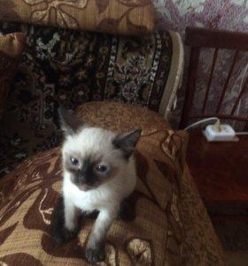 Сиамский котенок, девочка ласковая.