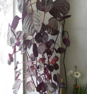 Цветок ирезине