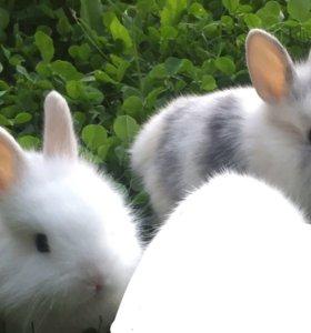 Кролики карликовые декоративные