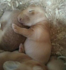 Кролики мясных пород. Калифорния, Бургундия, Панон