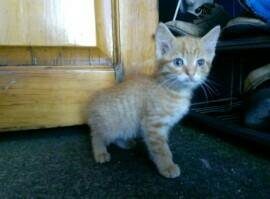 Рыжий котенок(девочка).