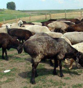 Эдильбаевские овцы, бараны, ягнята. Халяль.