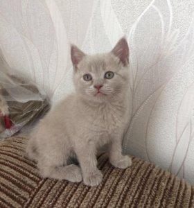 Британские котята ищут хозяев