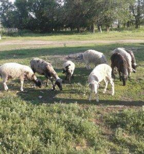 Продам овец с ягнятами