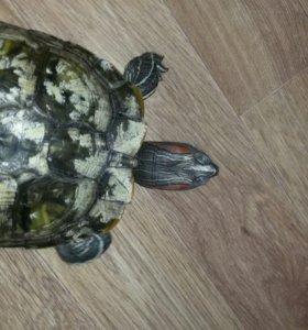 Красноухая черепаха. 3,5 года.