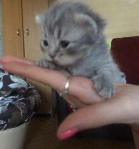 Котята британские вислоухие