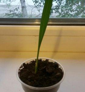 Росток финиковой пальмы