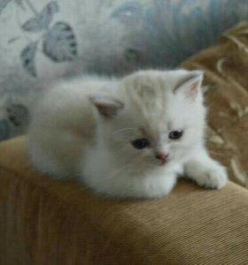Продам чистокровных шотландских котят.