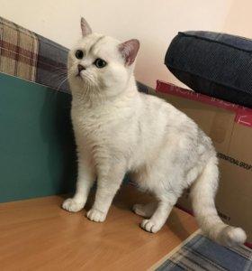 Вязка с шотландским котом ns 11