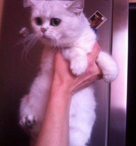 Кошка серебристая шиншилла