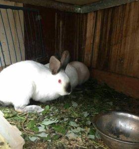 кролики флаундеры