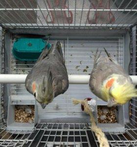 Пара попугаев корелл с клеткой