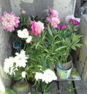 Пионы, лилии, ирисы, хоста в городе. Доставка