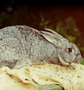 Кролики Советская шиншила