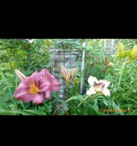 Цветы.Сочносиреневый Лилейник.