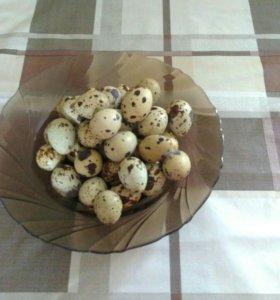 Яйцо перепелиное, инкубационое.