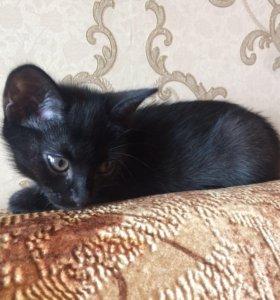 Котёнок черный