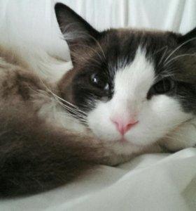 Тайская порода (кот)