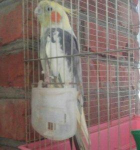 Продам попугая корелла