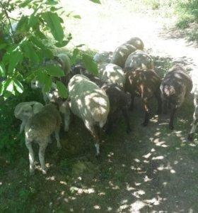 Овцы 89054631482 на это номер звоните