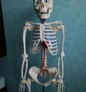 Анатомическая модель скелета человека