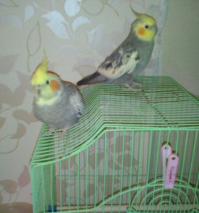 Попугаи корелла(нимфы)пара