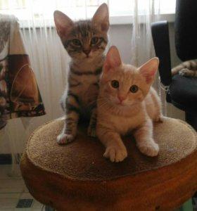 Продам чистопородных котят курильского бобтейла.