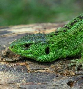 Ручная зеленая ящерица